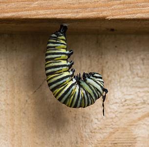 Caterpillar to Chrysalis 12-2-14