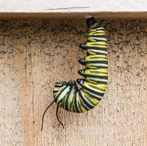 Caterpillar to Chrysalis 4-19-16