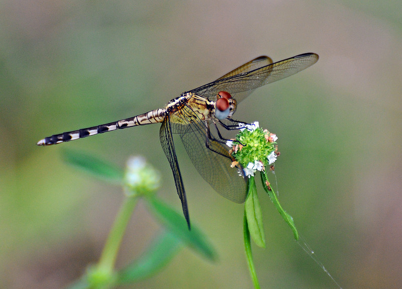 Band-Winged Dragonlet (libellulidae)
