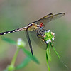 Band-Winged Dragonlet (libellulidae)