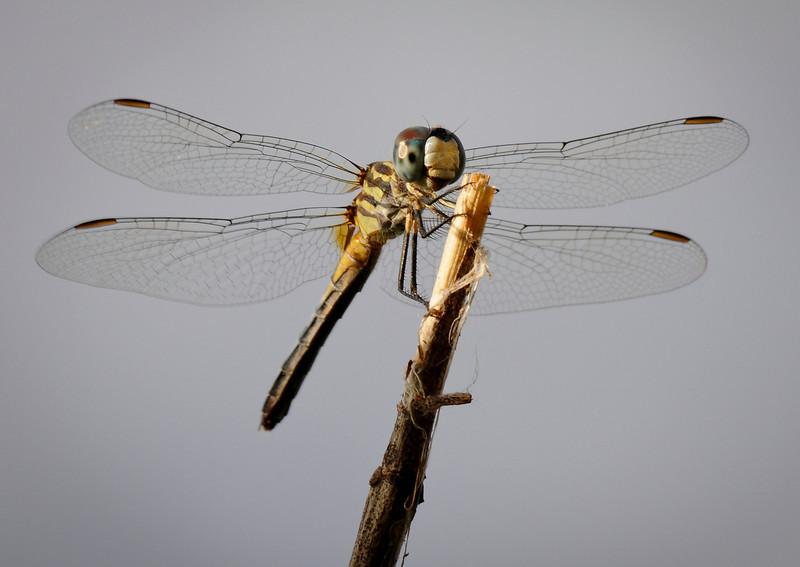 Regal Darner (Coryphaeschna ingens)