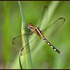 Little Blue Dragonlet Immature