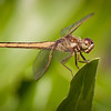 Female Needham's Skimmer
