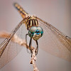 Regal Darner Female