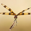 Halloween Pennant Dragonfly at Sunset