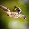 Green Bottle Fly (phaenicia species)