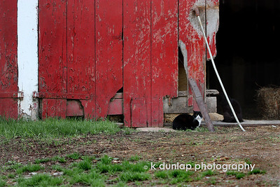 "05.04.09 = "" Hey, you lookin' at me?"" This weekend my sister and I went up to Amish country here in Ohio.  I have several photo's upload so stay tuned.  We were headed home and decided to take the back road.  We were semi lost at the time when we rolled up to a fork in the road. While deciding which way to go I  looked to the right and just then this cat looked over at me and I snapped a few shots.  By the size of his wiskers, he is one fat cat.  See alternate view:  http://kdunlap.smugmug.com/gallery/7139049_pLVzs/1/528760644_LFPC2"