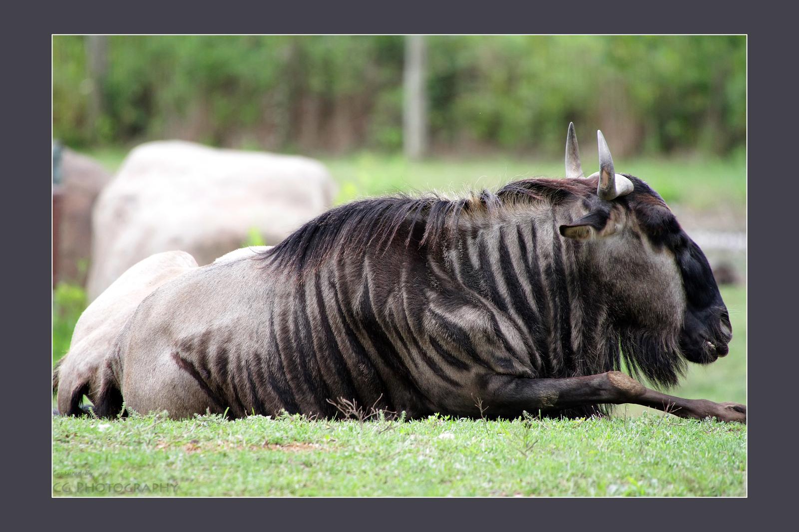 IMAGE: https://photos.smugmug.com/Animals/In-the-Wild-Yonder/i-kmWSfhk/0/d4a5de8c/X3/7D1_7027-X3.jpg