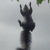 Date: 7/17/13<br /> Location: Riverview, FL<br /> Lanai screen squirrel