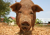 Surprised Pig<br /> Laos, 2005