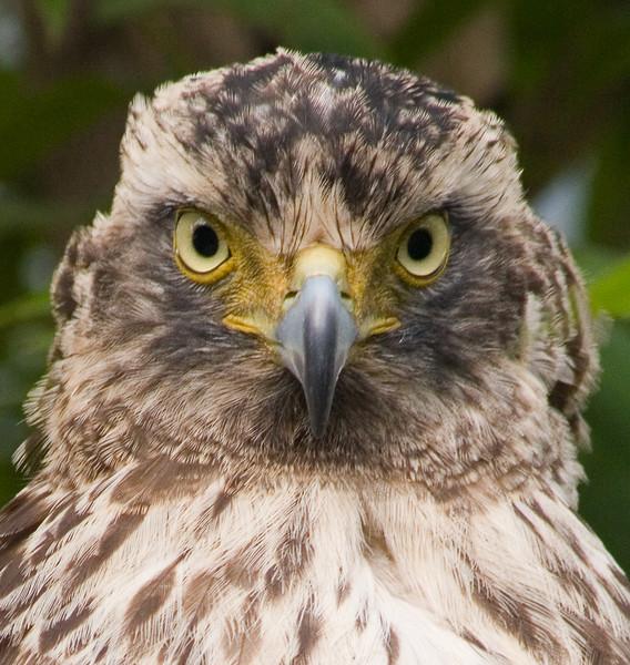 Eagle<br /> Mung Nuea, Laos 2006