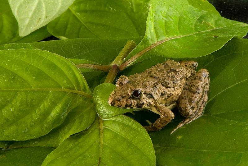 Garden Frog<br /> Thailand 2009