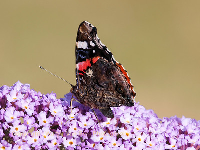 Garden_vlinder_Itegem_20130804_IMG_44153_WVB_1600px