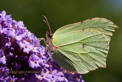 Garden_vlinder_Itegem_20130804_IMG_44118_WVB_2500px