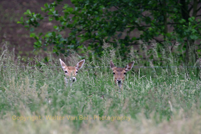 Deer_behind_the_garden_20070520_Itegem_CRW_8158_RT8_WVB