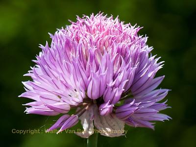 Garden_flowers_Itegem_20130608_IMG_40017_WVB_1600px