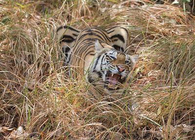 Tiger eating grass-Bandhavgarh National Park, India