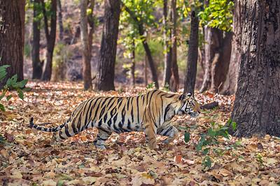 Tiger Cub Stalking2 - Bandhavgarh National Park, India
