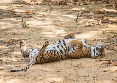 Tiger laying on back