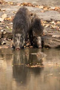 Wild Pig - India