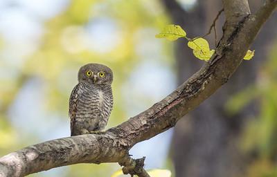 Jungle Owlet - Kanha National Park, India
