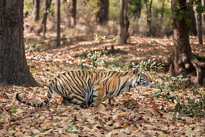 Spotty's cub stalking-Bandhavgarh national park-India