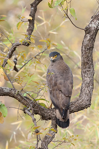 Crested Serpent Eagle-India