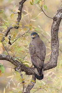 Crested Serpent Eagle-India