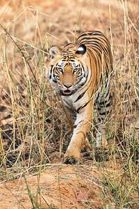 Tiger-Ear spot-Bandhavgarh National Park-India