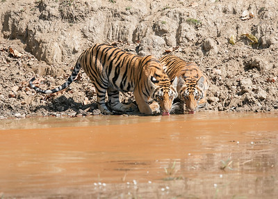Tiger Cubs Drinking at Watering hole-Kanha National Park, India