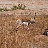 Black buck, near Rohet, Rajasthan