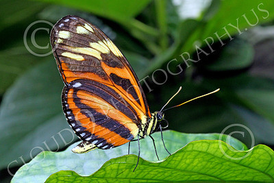 BFLY 00001 A colorful Large Tiger butterfly on a leaf, by Peter J Mancus