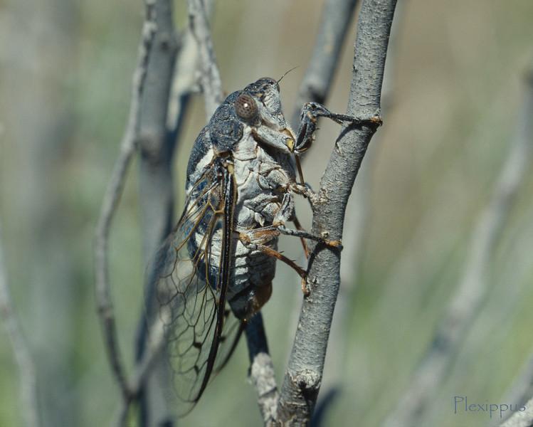 Grand Western Cicada Jun 4 01 2
