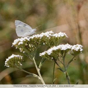 Checkered White - Yosemite National Park, CA, USA