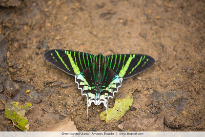 Green-banded Urania - Amazon, Ecuador