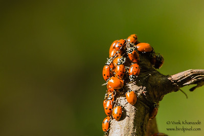 Ladybugs - Henry Cowell State Park, Felton, CA, USA