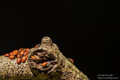 Ladybugs - Felton, CA, USA