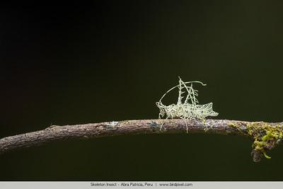 Skeleton Insect - Abra Patricia, Peru