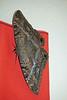 1504 Black Witch Moth
