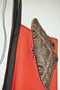 1520 Black Witch Moth