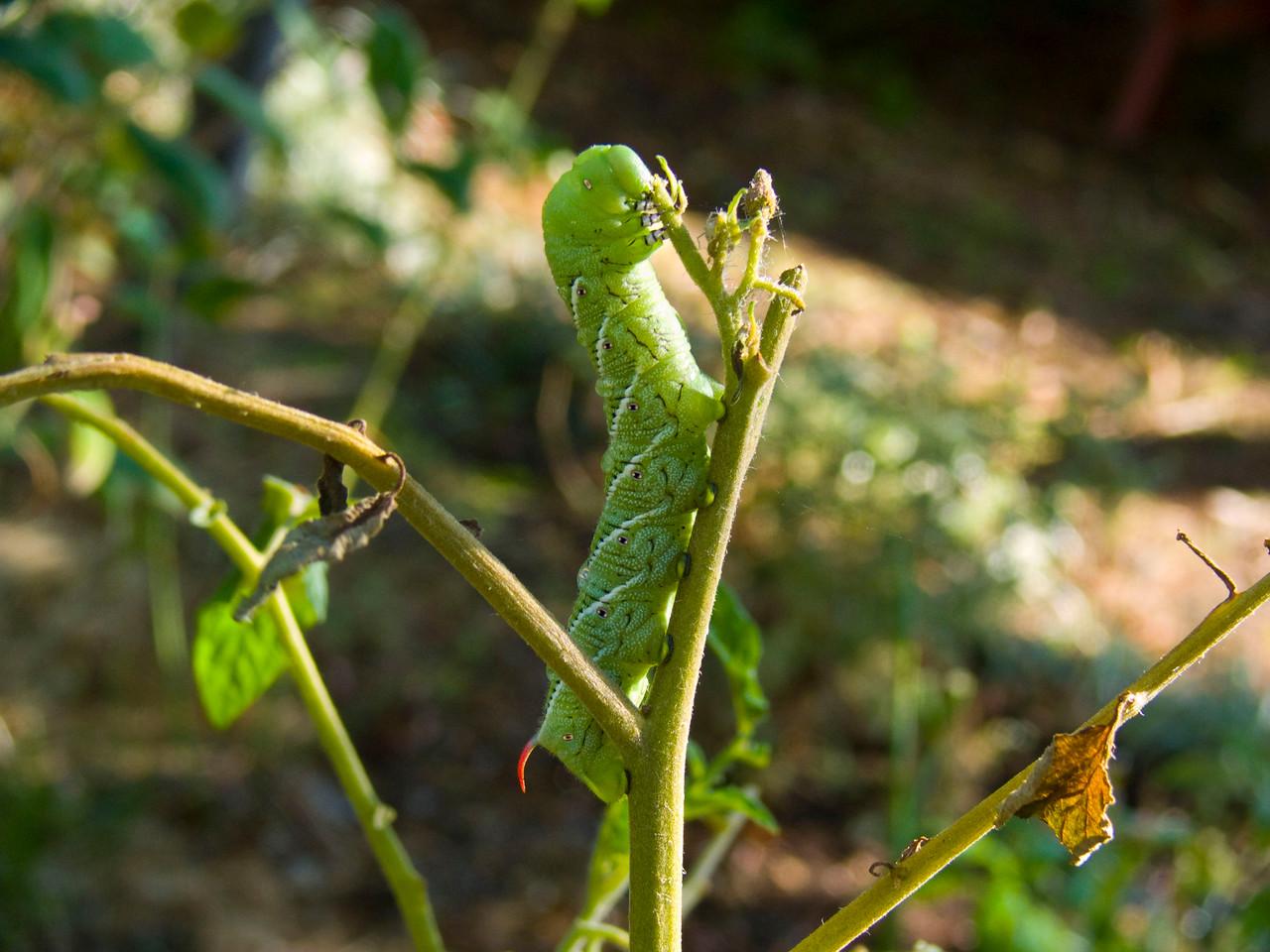 147 Tomato hornworm
