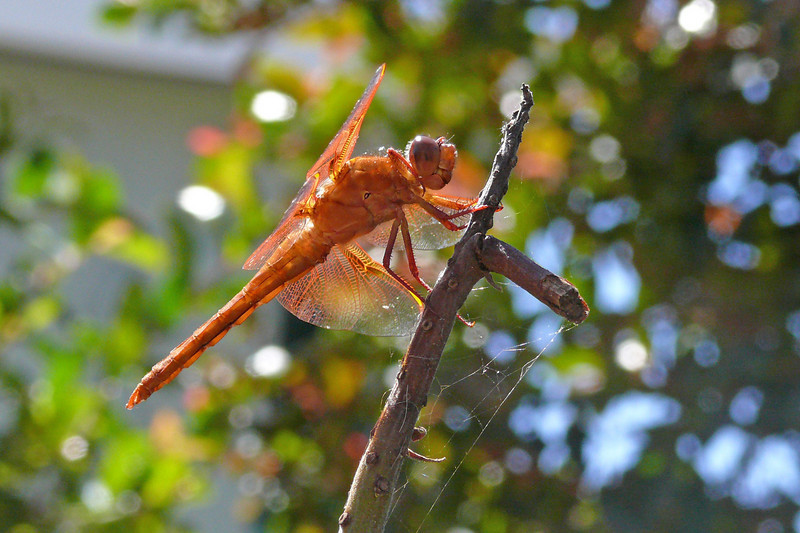 Red Dragonfly?
