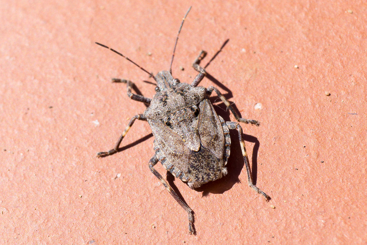 4482 Stink Bug Menecles Insertus