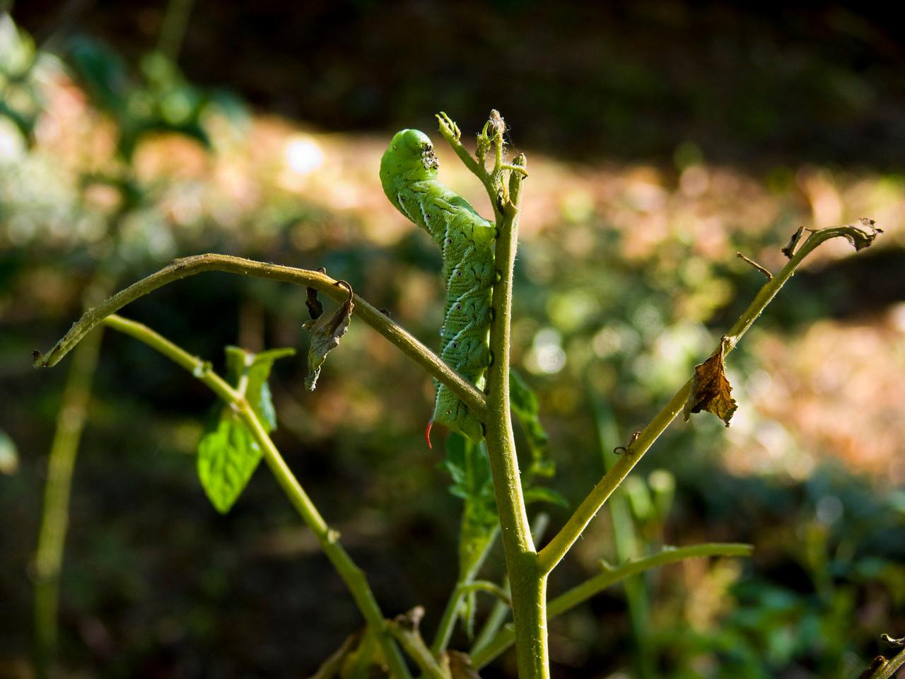 145 Tomato hornworm