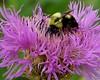 bee on basket flower