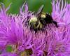 bee on basket flower2