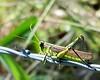 Grasshopper<br /> Pecan Grove Park