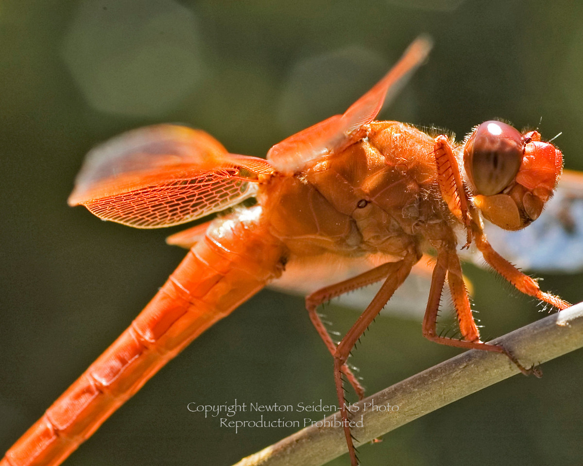 Dragonfly<br /> Anatomical Profile