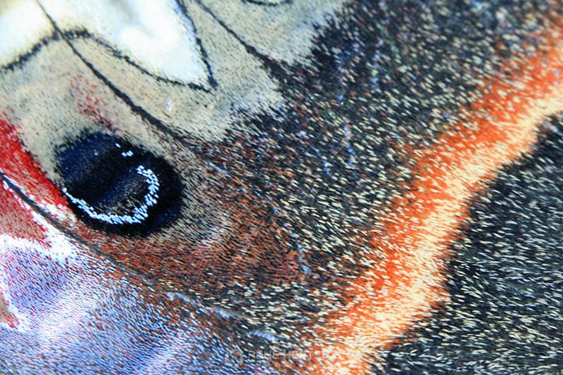 Cecropia moth wing