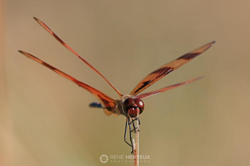 Halloween Pennant Skimmer dragonfly